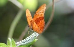 Dryas julia. Sitting on a leaf  Foto taken in blijdorp zoo in Rotterdam, Netherlands Stock Photo