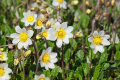 Dryas octopetala Stock Images