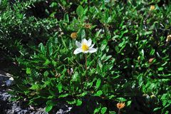 Dryas octopetala Royalty Free Stock Images