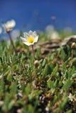 Dryas octopetala - Camedrio alpino Stockbilder