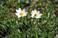 Dryas octopetala - Camedrio alpino Royalty Free Stock Images