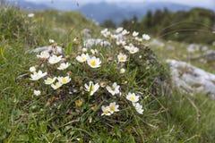 Dryas octopetala flowers or white mountain avens. German alps Royalty Free Stock Image