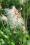 Dryas Suendermannii foto de archivo