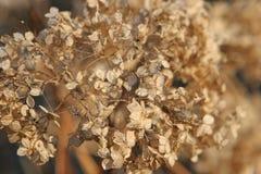 Dryed-up Hortensia Royalty Free Stock Photo