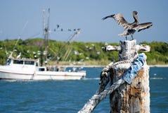 drying befjädrar pelikan Royaltyfria Foton