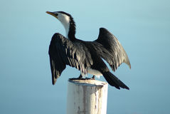 Drying Bird. Image taken of a bird resting/drying on a pole in a dam Royalty Free Stock Photo
