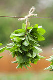 Drying bunches of mint Stock Image
