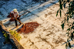 Drying cacao beans in Guatemala Royalty Free Stock Photography