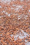 Drying cacao Stock Photography