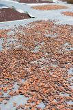 Drying cacao Royalty Free Stock Images
