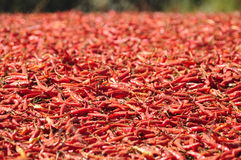 Drying chili peppers Royalty Free Stock Images
