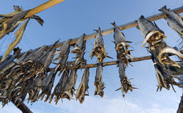 Drying cod fish in Norway Royalty Free Stock Photo