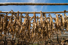 Drying of cod fish Stock Photography
