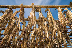 Drying of cod fish Royalty Free Stock Images