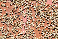 Drying Coffee Beans. In the sun, Antigua, Guatemala, South America stock image