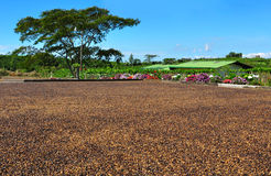 Drying coffee beans, Costa Rica. Coffee beans being dried in the sun as part of a traditional method of converting the raw fruit of the coffee plant into the Royalty Free Stock Images