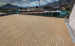 Drying of coffee beans Royalty Free Stock Images