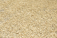Drying Coffee Grains Close-Up Stock Photo