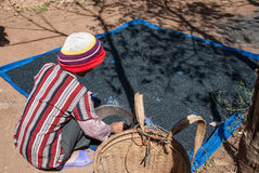 Drying coffee in Vietnam Royalty Free Stock Images