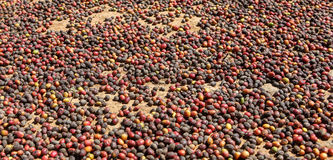 Drying of collected coffee beans. Royalty Free Stock Images