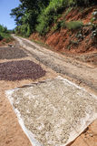 Drying of collected coffee beans. Royalty Free Stock Photos