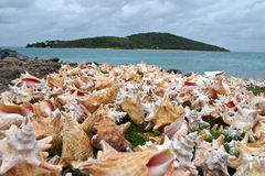 Drying conch shells Stock Photography