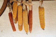 Drying Corn Stock Images