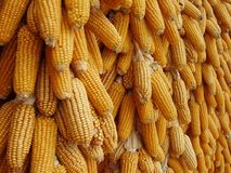 Drying corn. Yellow corn drying in the sun Royalty Free Stock Images