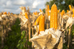 Drying corn on the cob Stock Photography