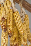 Drying corn Royalty Free Stock Photography