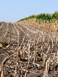 Drying corn Royalty Free Stock Photo