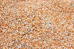 Drying corn seeds Royalty Free Stock Photo