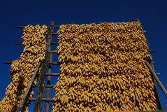 Drying corn  in southwest China Royalty Free Stock Photo