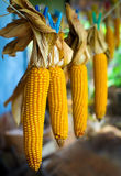 Drying corn Stock Photography