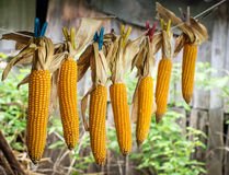 Drying corn Royalty Free Stock Photos