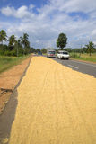 Drying the crop of rice on the carriageway of the road. Sri Lanka Royalty Free Stock Image