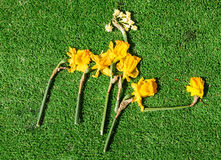Drying Daffodils Royalty Free Stock Photography