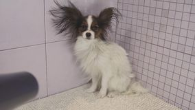 Drying dog after bathing Continental Toy Spaniel Papillon stock footage video