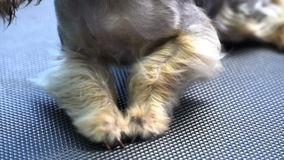 Drying dog hair on the legs of Yorkshire terrier after shower in pet salon stock video footage