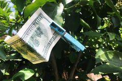 Drying 100 dollars bill. On a tree Royalty Free Stock Image