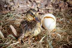 Drying duckling hatched Stock Photo