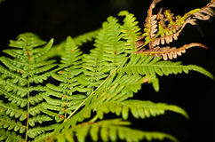 Drying fern. Drying fern shot in the wild Swedish nature during summer time royalty free stock photos