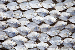 Drying fish. Traditional way of drying out fish in Indonesia Royalty Free Stock Photo