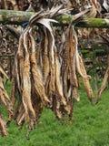 Drying fish, Iceland Stock Photo