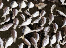 Drying fish on net Royalty Free Stock Image