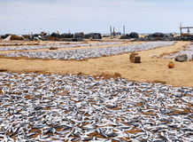 Drying fish on the shore Stock Photo
