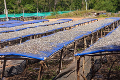 Drying fish on the tables in the sun Stock Photos