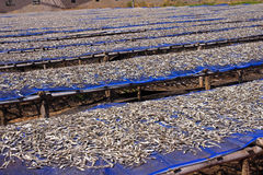 Drying fish on the tables in the sun Stock Photography