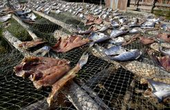 Drying Fishes. Drying fish meat Royalty Free Stock Photography