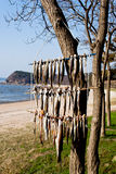 Drying fishes hanging on trees in South Korea Royalty Free Stock Photos